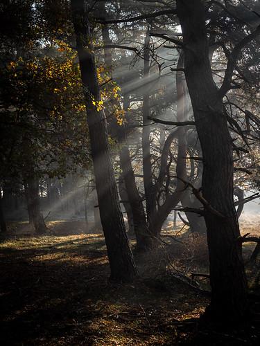 bussumerheide westerheide 2019 heath earlymorning dawn sunrise trees backlight sunrays
