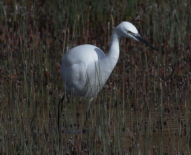 Little Egret, Burton Mere Wetlands