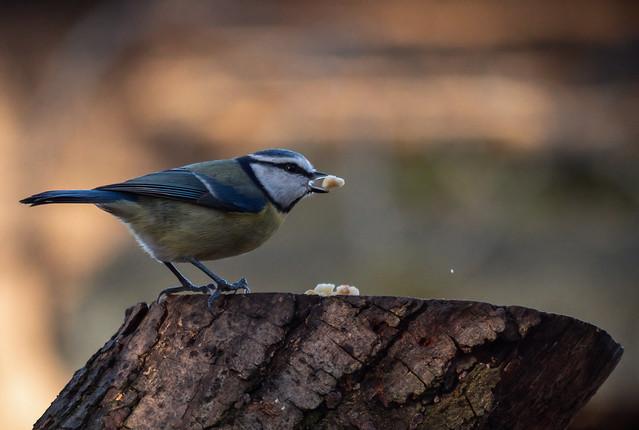 Blue tit feeding