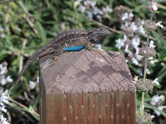 Western Fence Lizard 0742b