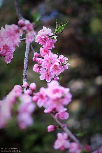 桃の花 20200312-DSCT3714 (2)