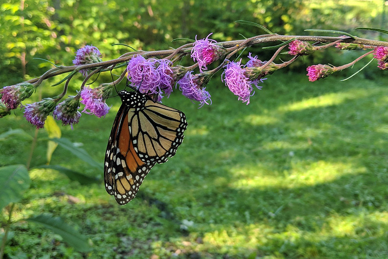 stem of blooming purple flowers, leaning horizontally, with a monarch hanging upside-down