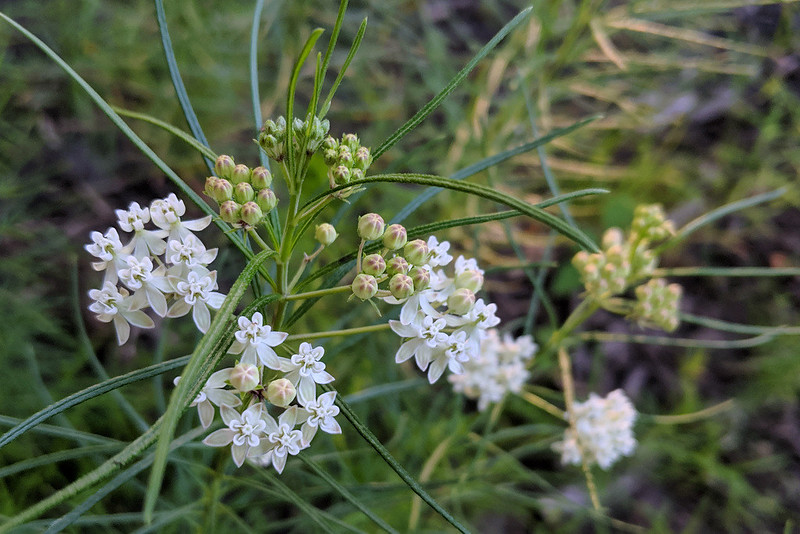 closeup of white-colored milkweed flowers, half blooming and half budding