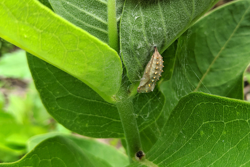 a brownish, spiky chrysalis hanging on the underside of a leaf that's been turned up