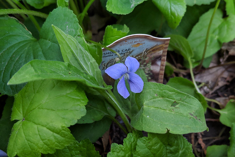 the tag for a bishop's cap plant, nearly covered by a blooming purple violet