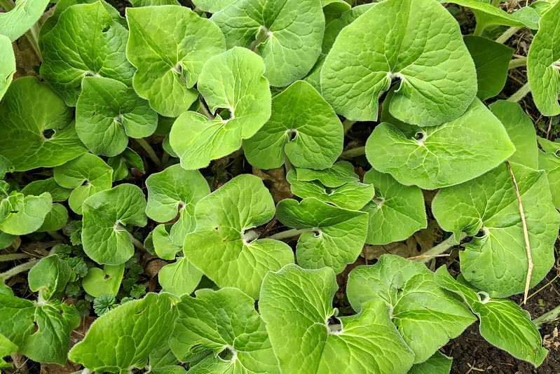 a mass of large, heart-shaped green leaves viewed from above