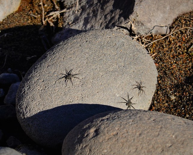 Spiders on the Rocks SR602263