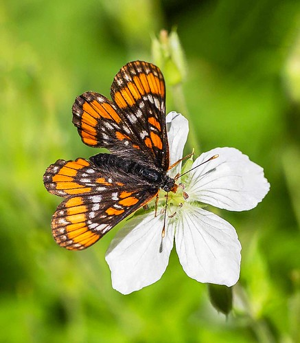 Gillette's Checkerspot (Euphydryas gillettii)