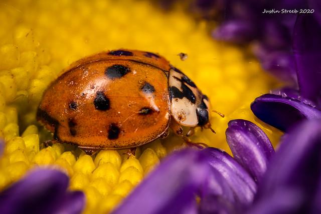 Ladybug & Purple Flower 3