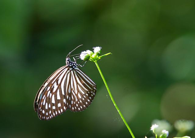 dark blue tiger (Tirumala septentrionis) - Entopia Butterfly Farm - Teluk Bahang, Penang Island, Malaysia - Feb 2020