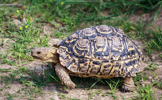 Leopard Tortoise - in the green Kalahari