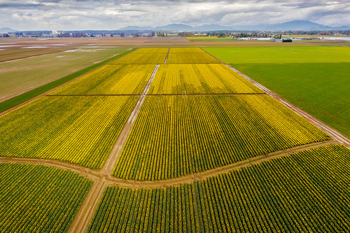 flowers aerial drone skagitvalley daffodils yellow blossom bloom blooming washington washingtonstate westernwashington spring springtime green rural agriculture agricultural skagitcounty nature country countryside industry farm farmland farming clouds edmundlowephotography edmundlowe edlowe business america usa allmyphotographsare©copyrightedandallrightsreservednoneofthesephotosmaybereproducedandorusedinanyformofpublicationprintortheinternetwithoutmywrittenpermission