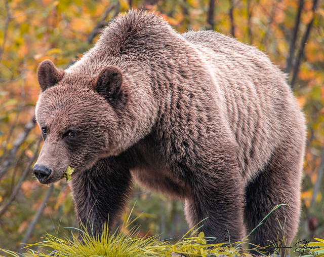 Large Grizzly BC