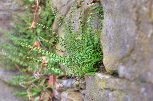 Pflanze an Steinmauer