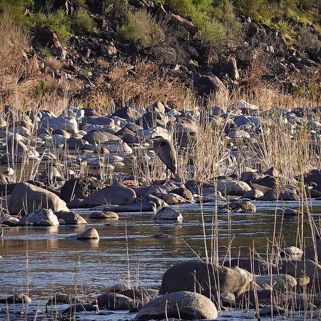 Bird in the Creek SR602290
