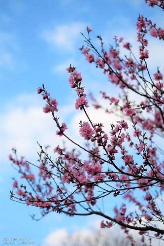 桃の花 20200312-DSCT3713 (2)