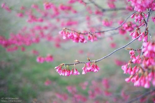 寒緋桜 20200312-DSCT3670 (3)