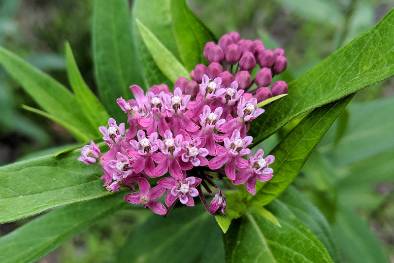 two clusters of pink-colored milkweed flowers, the ones in the foreground blooming and the ones in the background budding