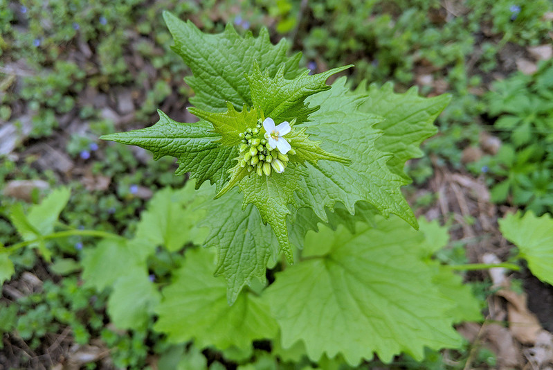 overhead view of one small, four-petaled white flower above many large, scalloped green leaves