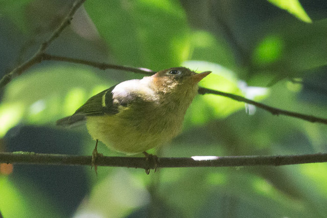 Unknown Warbler, maybe