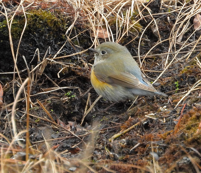 Red-flanked Bluetail (Tarsiger cyanurus)-3100