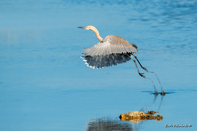 Reddish Egret (juvie)