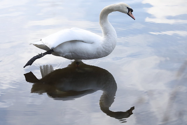 Reflective Swan(Cygnus olar)