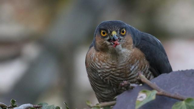 Sparrowhawk, 12032020, 47 f