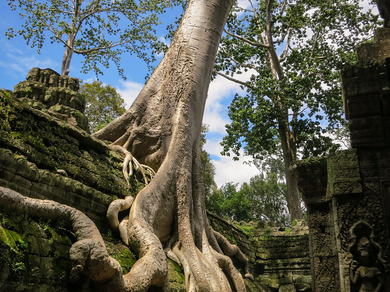 Trees and jungle growing out of the ruins of Ta Prohm temple