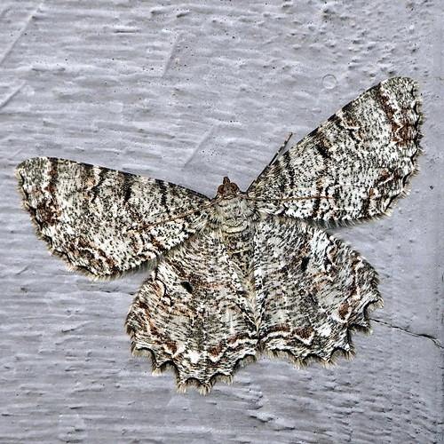 moth smallengrailed ectropiscrepuscularia fairfieldharbour northcarolina olympus omdem10