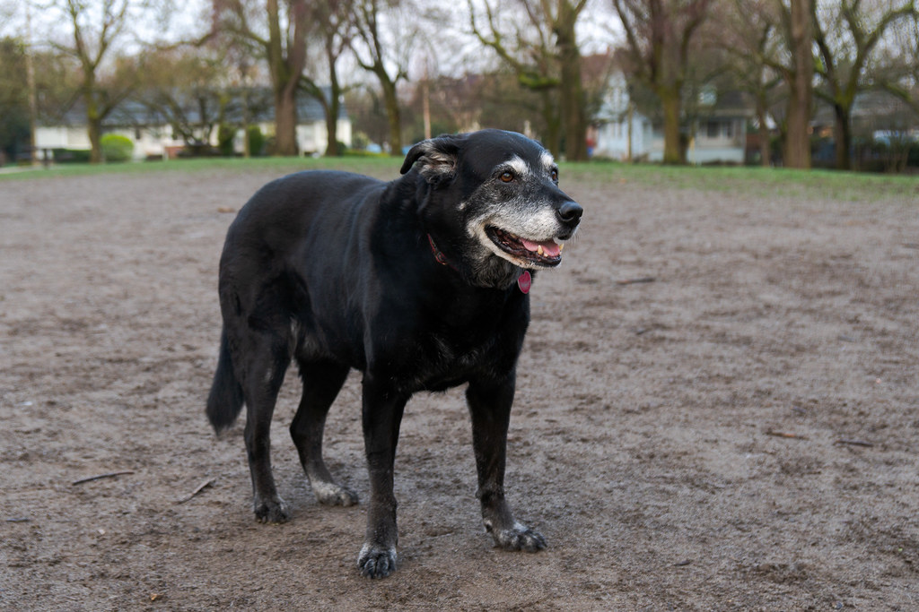 Our dog Ellie stands and smiles in the damp sand of the dog park at Irving Park in the Irvington neighborhood of Portland, Oregon in March 2017