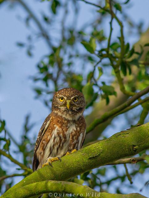 Austral pigmy owl