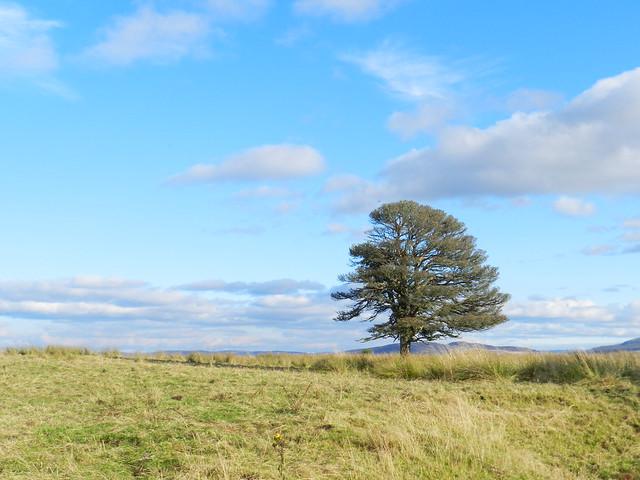Lone Tree, Drumashie, Oct 2019