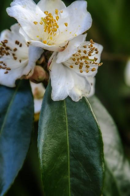 Camellia grysii (sharpness study by Telexon 135)