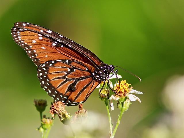 Queen butterfly male 2-20200313