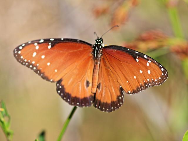 Queen butterfly male 20200313
