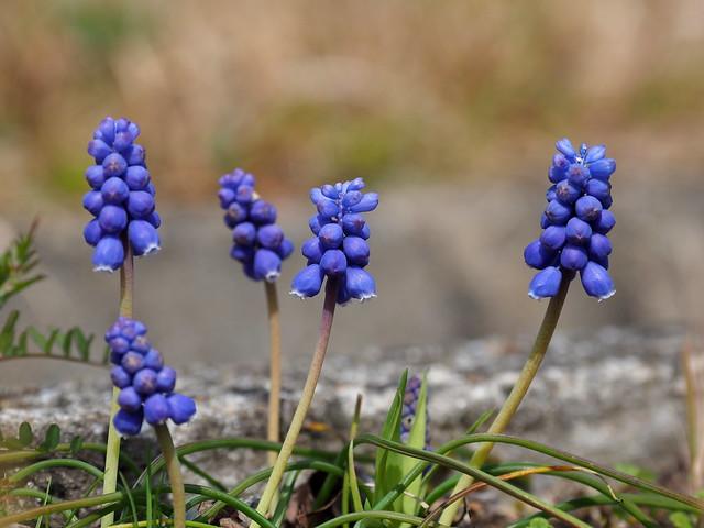 Muscari (Muscari armeniacum, ムスカリ, grape hyacinth, ブドウヒアシンス)