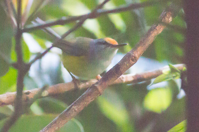 Mountain Tailorbird