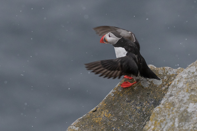 Puffin at Runde, Norway