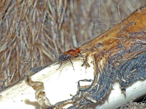 tasmania tmagzoology tasmanianmuseumandartgallery insecta diptera piophilidae piophilosomapalpatum