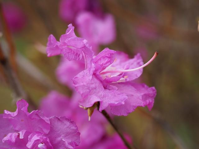 Korean rhododendron (Rhododendron mucronulatum var. ciliatum, ゲンカイツツジ)