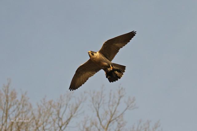 Peregrine Falcon carrying prey