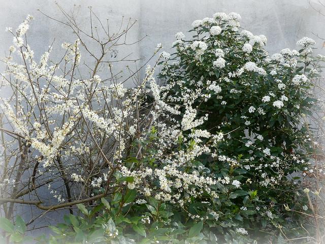 Saison du blanc