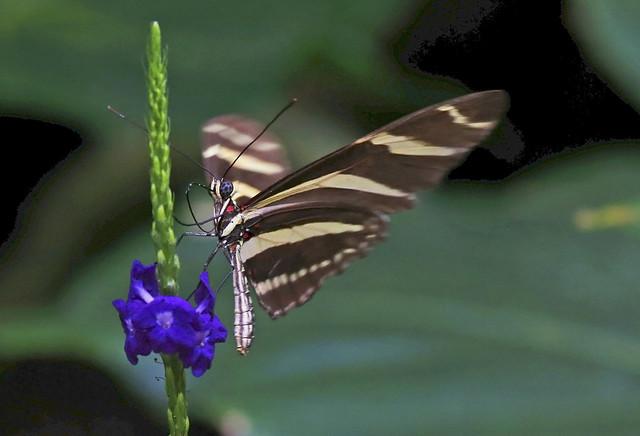 Sara Longwing : Flapping Wings . . .