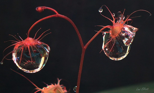 Caught in Sundew Droplets....Smile on Saturday