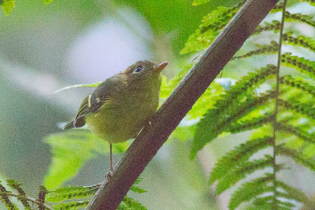 Yellow-breasted warbler