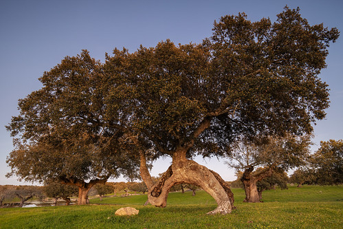 eduardoestellez sunset trees landscape background dehesa nature green extremadura arroyodelaluz park pasture nobody white horizontal beautiful oaks color spain blue environment meadow caceres natural calm colorful beauty reflected relaxation tranquil idyllic forest scenery