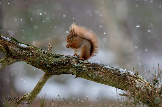 DSC0398  Red Squirrel...