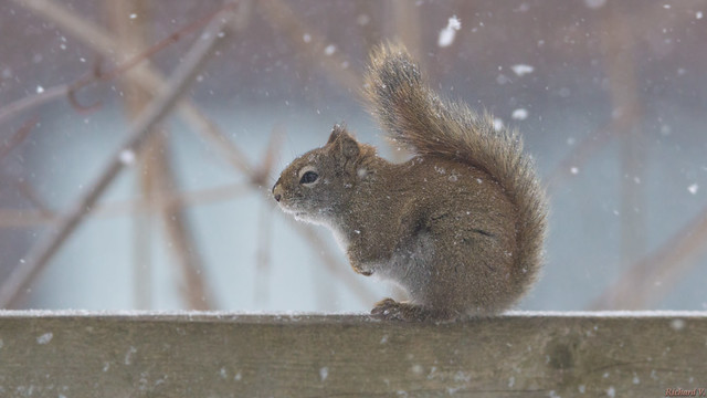 Écureuil roux - Red squirrel - Québec, Canada - 0053
