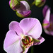 Orquídeas Mariposa - Photo (c) Peter Stenzel, algunos derechos reservados (CC BY-ND)